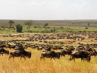 Migration in Serengeti close to our lodge