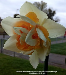 Double Daffodil flowering in pot on balcony railings 22nd March 2019 (Cropped) (D@viD_2.011) Tags: double daffodils flowering pots balcony railings 22nd march 2019