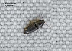 Drasterius bimaculatus (Rossi, 1790) (Marcello Consolo) Tags: taxonomy:kingdom=animalia animalia taxonomy:phylum=arthropoda arthropoda taxonomy:subphylum=hexapoda hexapoda taxonomy:class=insecta insecta taxonomy:subclass=pterygota pterygota taxonomy:order=coleoptera coleoptera taxonomy:suborder=polyphaga polyphaga taxonomy:infraorder=elateriformia elateriformia taxonomy:superfamily=elateroidea elateroidea taxonomy:family=elateridae elateridae taxonomy:subfamily=agrypninae agrypninae taxonomy:tribe=oophorini oophorini taxonomy:genus=drasterius drasterius taxonomy:species=bimaculatus taxonomy:binomial=drasteriusbimaculatus drasteriusbimaculatus