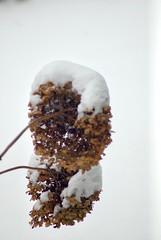'Winter duo 😍❄️... (Rakista1970) Tags: macrophotography macro snow winterwonderland flower nikond200 nikon wintershot winter