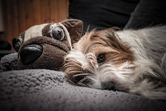 Sara. And her soft husband :) 03/52 (Tõnno Paju) Tags: sara 52weeksfordogs jack russell terrier dog animal pet nikon sigma toy