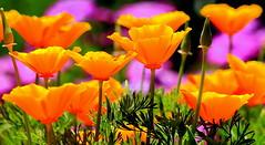 Orange poppies in the garden ☀️ (ᗰᗩᖇᓰᗩ ☼ Xᕮ∩〇Ụ) Tags: greece griechenland ελλαδα westpeloponnes δυτικηπελοποννησοσ canoneos1100d χρώματα closeup nature natur φύση περιβάλλον umwelt παπαρούνεσ λουλούδια πορτοκαλίχρώμα goldmohn kalifornischermohn spring frühling flora eschscholziacalifornica colorful green purple garten άνοιξη sunny sonnig ηλιοφάνεια naturesbeauty positive positiv wildflowers glowing flower blumen