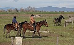 "Questa è ""Maremma"" - This is ""Maremma"" (Jambo Jambo) Tags: vacche vacchemaremmane cows cavalli horses butteri cowboys parcoregionaledellamaremma parco park alberese grosseto maremma maremmacountryside maremmatoscana toscana tuscany italia italy cavallo horse jambojambo sonydscrx10m4 inverno winter"