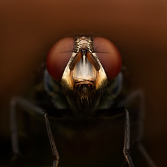 (Javier Chiavone) Tags: argentina canon7dii mpe65 macro macrofotografãa macrophotography marcospaz nature mosca fly macrofotografía