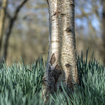 Birch and daffodils thumbnail