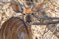 Niala ♀ (ik_kil) Tags: niala antelope nyala tragelaphusangasii mkhuzegamereserve kwazulunatal southafrica