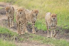 4 of 5 Musketeers (helenehoffman) Tags: africa carnivore 5musketeers kenya acinonyxjubatus conservationstatusvulnerable felidae mammal cheetah maasaimara feline musketeers nature bigcat maasaimaranationalreserve animal