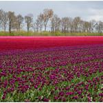 Tulpenvelden in Swifterbant in de Flevopolder ... thumbnail