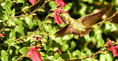 Blurred Wings (sbisson) Tags: hummingbird annashummingbird garden sanjose bird wildlife hover wings emerald tiny flying california spring green ruby red zoom feeding flower salvia