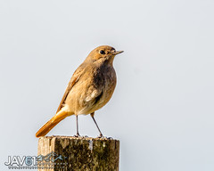 Redstart (Phoenicurus phoenicurus)-9530 (George Vittman) Tags: bird items portrait pose redstart robin bouchesdurhône france fr nikonpassion wildlifephotography jav61photography jav61