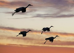 Sandhill Cranes Getting Ready To Land (Susan Roehl) Tags: bosquedelapachenationalwildliferefuge newmexico usa sandhillcrane antigonecanadensis largecrane northamerica flysouthforwinter flocksovertenthousand albuquerque fairlysocialbirds liveinpairs survivalgroups forageroosttogether herbivorous differenttypesoffood seeds corn wheat snails reptiles amphibians cottonseed sorghum sueroehl photographictours naturalexposures lumixdmcgh4 100400mmlens handheld coth5 ngc npc