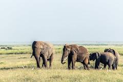 Elephant Herd (Prashanth S) Tags: safari africansafari africa kenya parks wild wildlife safariphotography travel amboseli ambo nature natural herd elephants animals animal