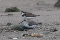 Dunlin (Dougie Edmond) Tags: southayrshire scotland unitedkingdom gb bird nature wildlife wader beach