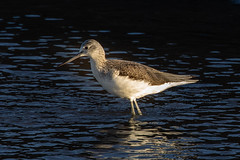 greenshank (colin 1957) Tags: greenshank wader