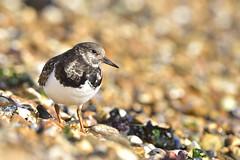 Turnstone (nigel murgatroyd) Tags: bird nikon nikond810 wader water beach wildlife 300mm nigelmurgatroyd