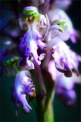 ... HARD LIGHT ... (Device66.) Tags: hardlight xicon macromondays mm wildorchids barliarobertiana