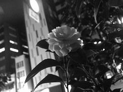 002 (96for2.) Tags: night city japanese flower whiteandblack iphone mono tokyo japan