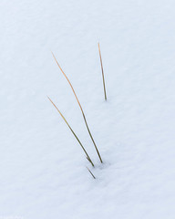 Grass in snow (Donard850) Tags: northyorkmoors grass minimilist snow softlight texture