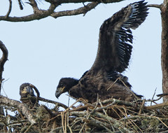 Bald Eagle Chicks (TomLamb47) Tags: nature wildlife bird baea bald eagle eaglet wing flapping nest tree branches canon 7d2 500mm