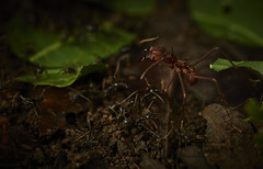 Leafcutter ant (Atta sp.) amongst army ants (Labidus sp.) (pbertner) Tags: rainforest rainforestexpeditions southamerica peru perunature madrededios amazon tambopata tambopataresearchcentre trc attasp armyants leafcutterants understory forestfloor nocturnal