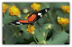 Pb_1040415 [Explore] (calpha19) Tags: imagesvoyagesphotography adobephotoshoplightroom panasonic lumixpanasonicdmcgh2 papillon alsace grandest hautrhin ngc flickrsexplore hunawihr