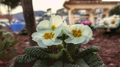 Plantas del tiempo. (Pedro Angel Prados) Tags: flor flower flowers color colors nature natura panasonic dmctz100 ƒ28 91 mm 160 125 explore explorar