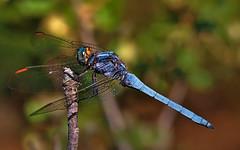Blue dragonfly en posición (IvánBueno) Tags: libélula macro color mzuiko60mmmacro predator insect bluedragonfly