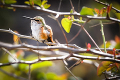 8 of 52:  Rufous In The House (SoCal Mark) Tags: rufous hummingbird bird spring 2019 project challenge photo 52 week weekly 8 february orange county ca california garden backyard yard canon 800 mm 800mm lens