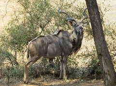 I am in charge!  ( Kudu (bull) / Koedoe  (bul) (Pixi2011) Tags: antelope wildlife krugernationalpark southafrica africa nature animals