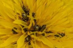 Pollen Beetles - Meligethes aeneus (Matchman Devon) Tags: meligethes aeneus dandelion flower pollen beetle