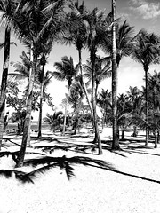 Puerto Plata Palm Trees (MassiveKontent) Tags: beach ocean silhouette dominicanrepublic palm trees landscapephotography monochrome bw tropics atlantic noir sky clouds shadows contrast noiretblanc blackwhite blancoynegro blackandwhite bwphotography gopro absoluteblackandwhite mono puerto plata dr waves sea water sand landscape tree bay