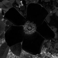 Rose Test, Darkest (sjrankin) Tags: 6march2019 edited closeup rose yunigarden yuni hokkaido japan flower test app output grayscale petal plants dark