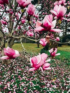 #magnolia #pinkflowers #springtime