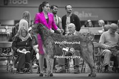 img_9999_524 (HoundPhotographer) Tags: irishwolfhound wolfhound hound crufts crufts2019 showdog dogshow