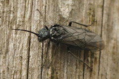 Dolerus species (henk.wallays) Tags: dolerusspecies aaaa nature hymenoptera arthropoda wasp dolerus insect henkwallays closeup guepe macro natuur wesp wildlife year2019 date