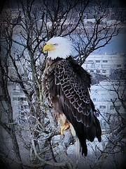 Liberty  - SCREENSHOT - 03-04-2019 (6) (THE Halloween Queen) Tags: eagles eagle wildlife bald baldeagles nationssymbol patriotic