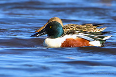 Northern_Shoveler_Pair_01 (DonBantumPhotography.com) Tags: wildlife nature animals birds donbantumcom donbantumphotographycom waterfowl ducks northernshovelerpair