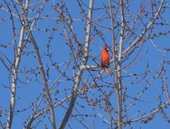 The cardinal (kirsten.eide) Tags:
