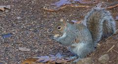 _DSC0666 (johnjmurphyiii) Tags: 06416 connecticut cromwell originalnef shelly squirrel tamron18400 usa wildlife winter yard johnjmurphyiii
