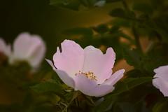 Дикая роза / Wild rose (Владимир-61) Tags: весна май природа цветы цветение шиповник вечер spring may nature flower blossom wildrose evening sony ilca68 minolta 75300 natureinfocusgroup