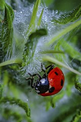 Such a lady (veredgf) Tags: ladybird ladybug coccinellidae insect beetle redandgreen macro outdoors