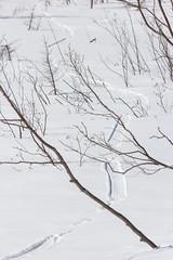 River Otter Slides on Swamp - Minnesota (TofteTom) Tags: minnesota wildlife wildlifephotography superiornationalforest itsallyours nationalforest otter otterslide tracks wintertracks winter riverotter