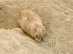 prairie dog (ikarusmedia) Tags: prairie dog animal mammal fauna soil dirt park magucal ranch mexico city tlalpan fur