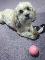 Chew In Hand (PEEJ0E) Tags: eyelashes long adorable pooch pet mutt rescue morning saturday boy cute tennis pink ball toy chew nohide dog maltese rusty