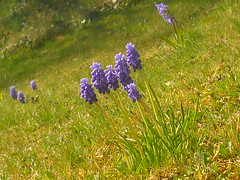 Armenische Traubenhyazinthe im Rasen (Jörg Paul Kaspari) Tags: muscari armeniacum muscariarmeniacum kelberg garten armenische traubenhyazinthe blüte flower bulb zwiebelpflanze frühling spring azurblau violettblau rasen lawn