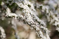 thunberg's meadowsweet (Christine_S.) Tags: flowers spring rose canon eos mirrorless japan nature white whiteflowers bokeh m5 ef100mm ユキヤナギ 雪柳 spiraeathunbergii ngc npc