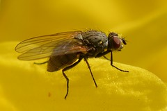 Are you ready to Fly? (suekelly52) Tags: fly diptera forsythia plant yellow macro insect flydayfriday