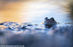 Common Frog (Alastair Marsh Photography) Tags: commonfrog commonfrogs frog frogs frogportrait frogspawn sunlight sun sunshine sunset dusk water pond lake amphibian amphibians reptile reptiles britishwildlife britishanimals britishanimal britishamphibian britishamphibians urban urbanwildlife wildlife photography wildlifephotography