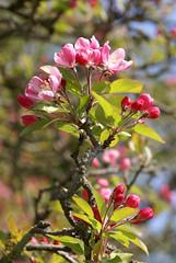 Apfel, japanischer Wild- / Japanese flowering crabapple (Malus floribunda) (HEN-Magonza) Tags: botanischergartenmainz mainzbotanicalgardens rheinlandpfalz rhinelandpalatinate germany deutschland frühling spring flora