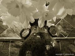 NewBeginnings (photoeclectia1) Tags: dogwood2019 dogwood52 dogwoodweek13 new beginnings flowers daffodils spring black white
